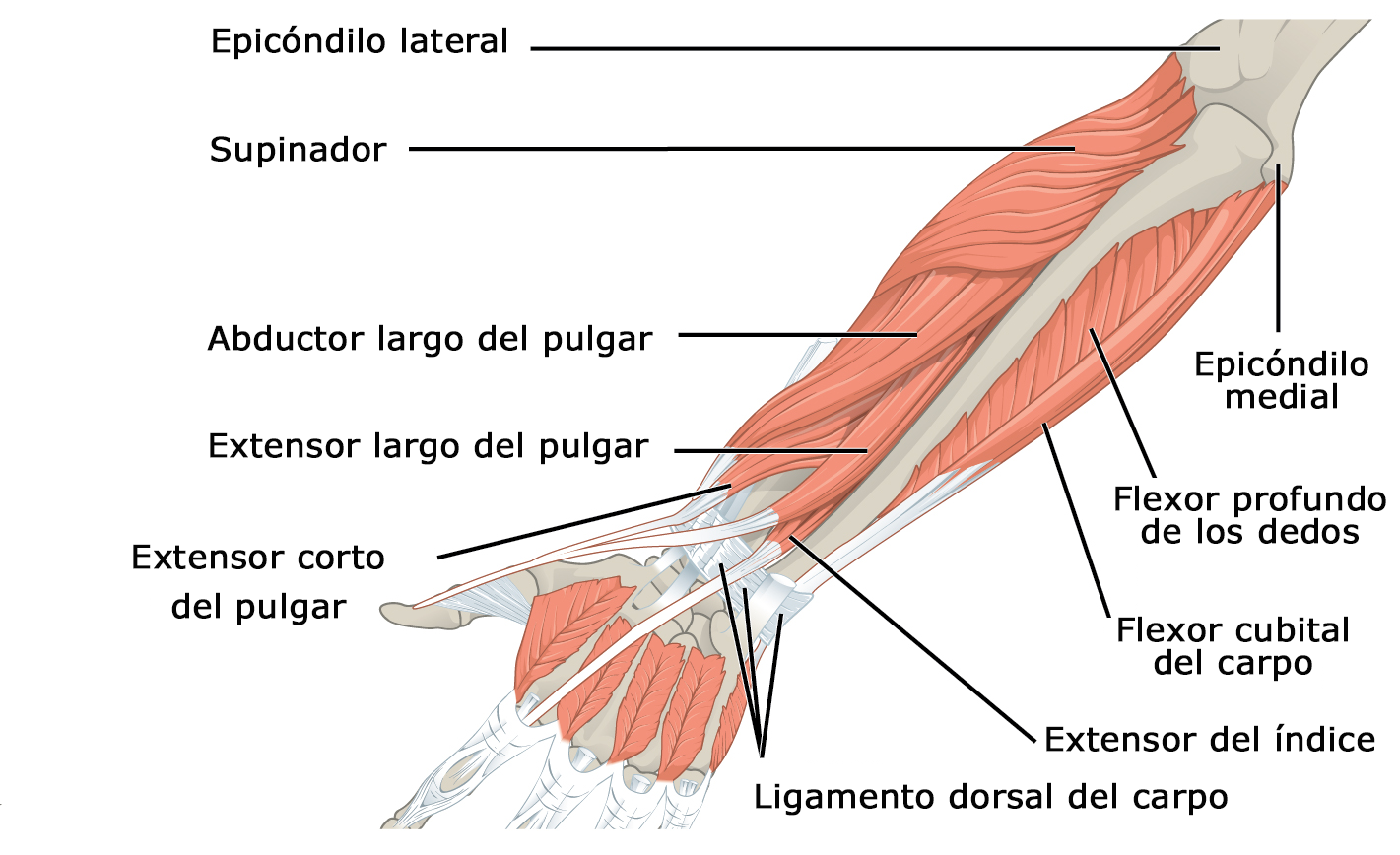 forearm muscles