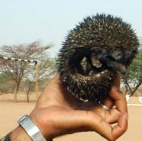 AB002 Hedgehog from Rajasthan.jpg