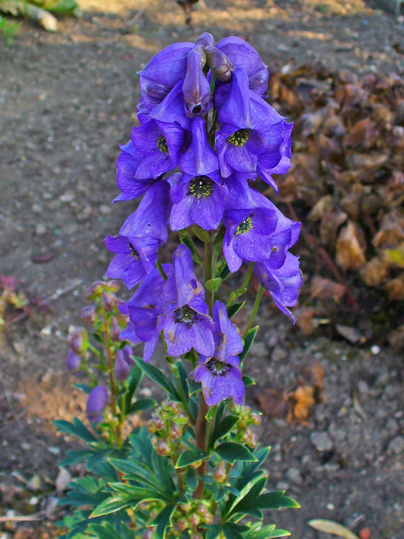 Цветы аконит кармихеля