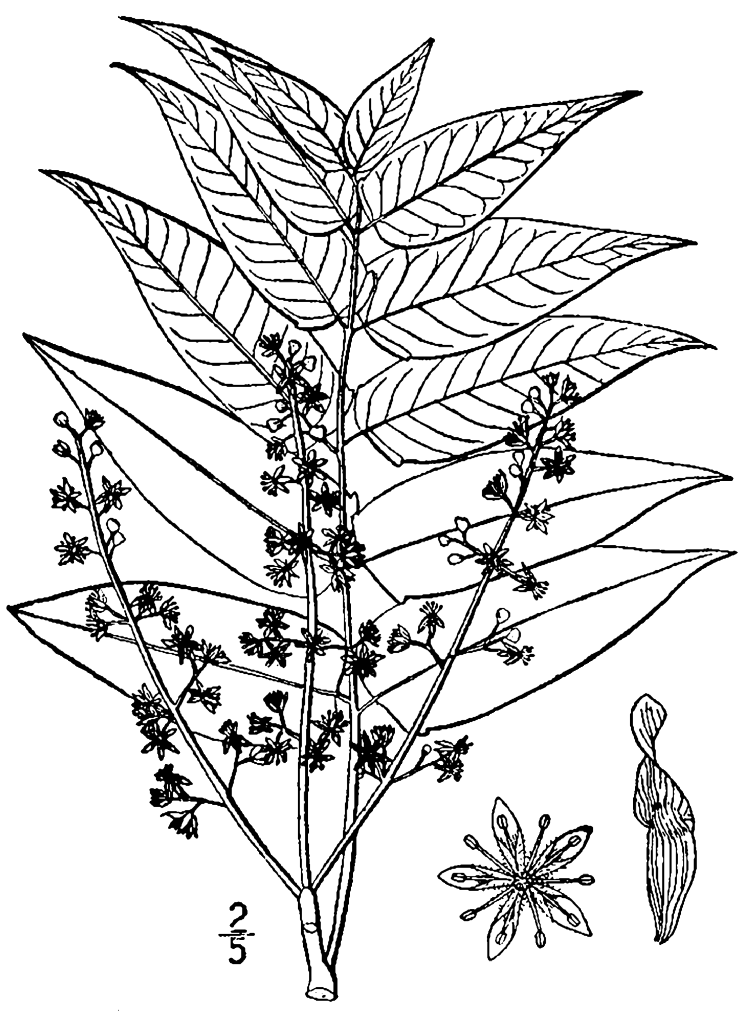 Cutting Plants Drawing Botanical Drawing of The