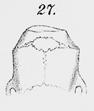 Akodon azarae 5 (27).png