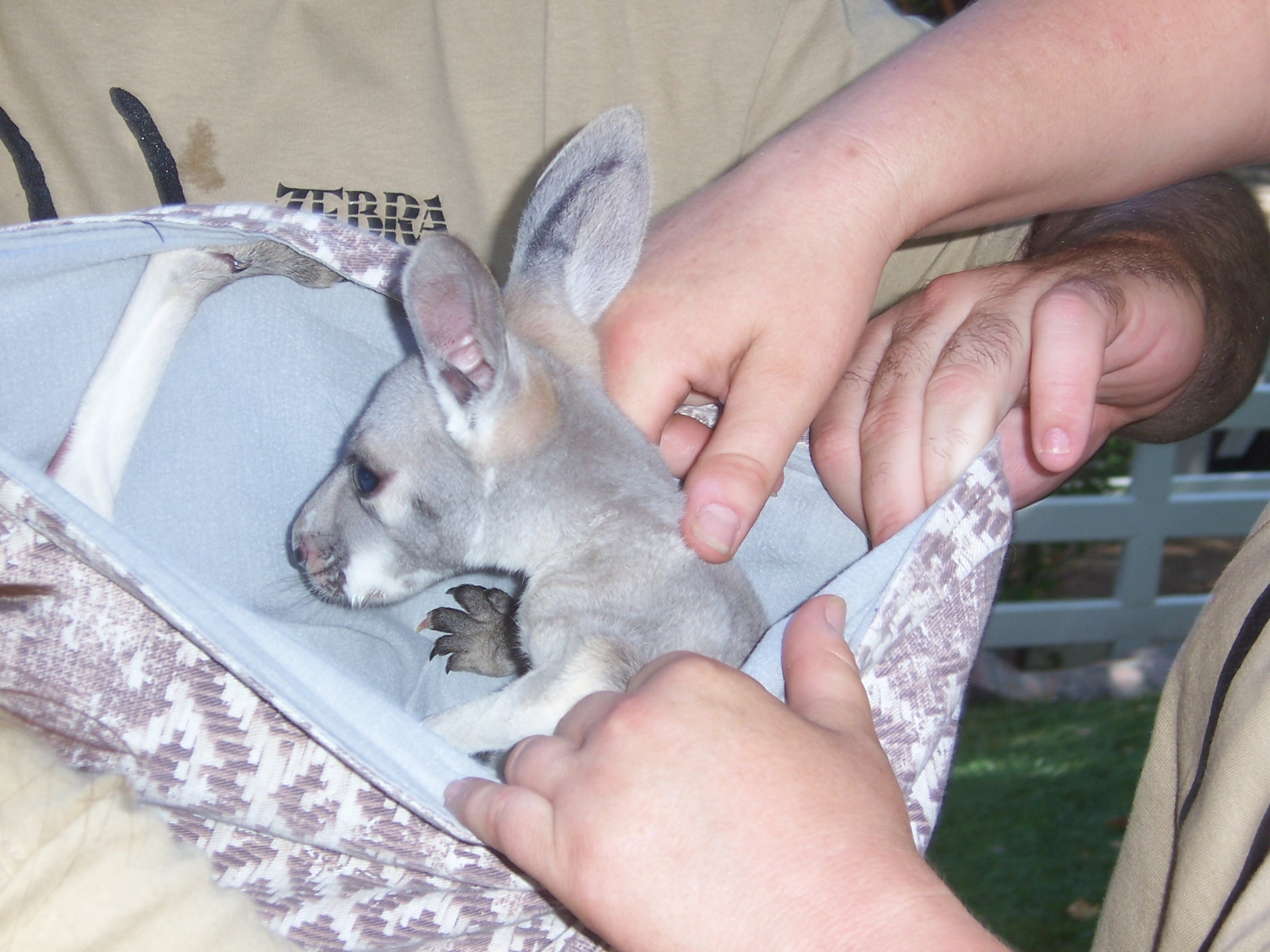 Description Baby kangaroo JPGNewborn Baby Kangaroo