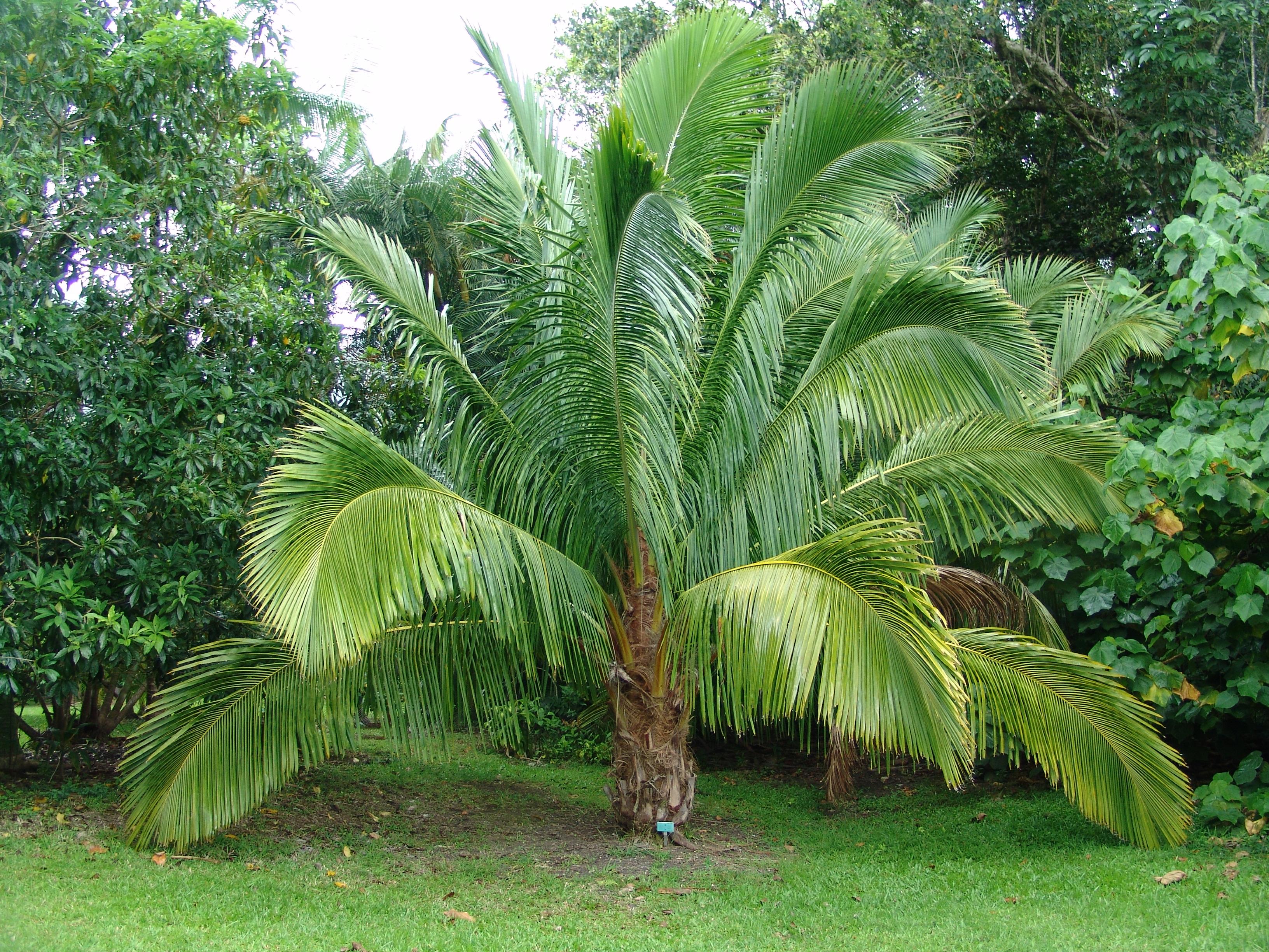 Wiki arecaceae upcscavenger - Real areca palm ...