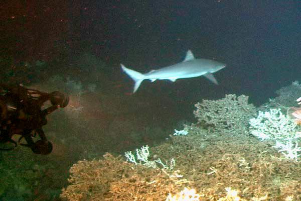 Bignose shark.jpg