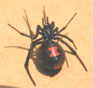 "The prevalence of sexual cannibalism gives several species of Latrodectus the common name ""black widow spider"". Black widow ventral 1370.jpg"