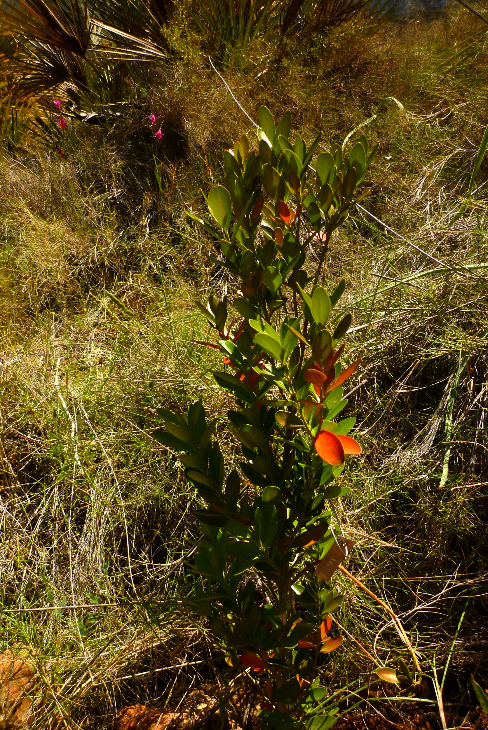 Catálogo de flora autóctona Buxus_balearica0601