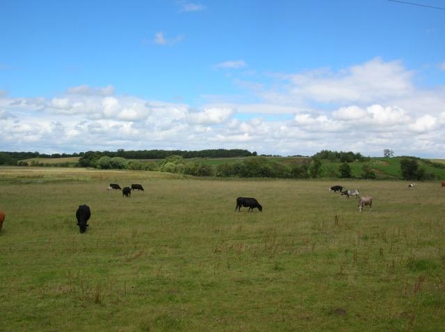Cows near Spofforth - geograph.org.uk - 490872