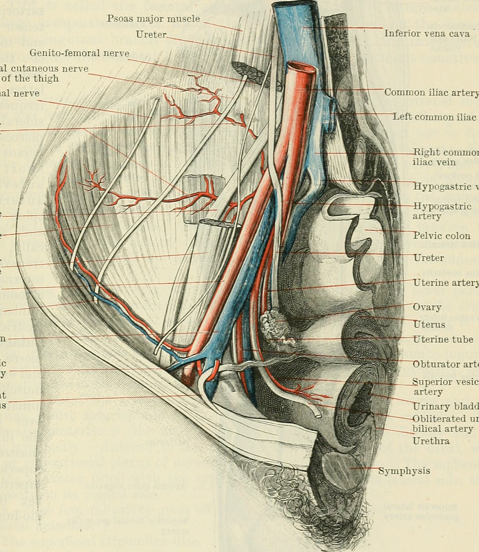 File:Cunningham\'s Text-book of anatomy (1914) (20196111793).jpg ...