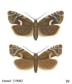 <i>Cydia duplicana</i> Species of moth