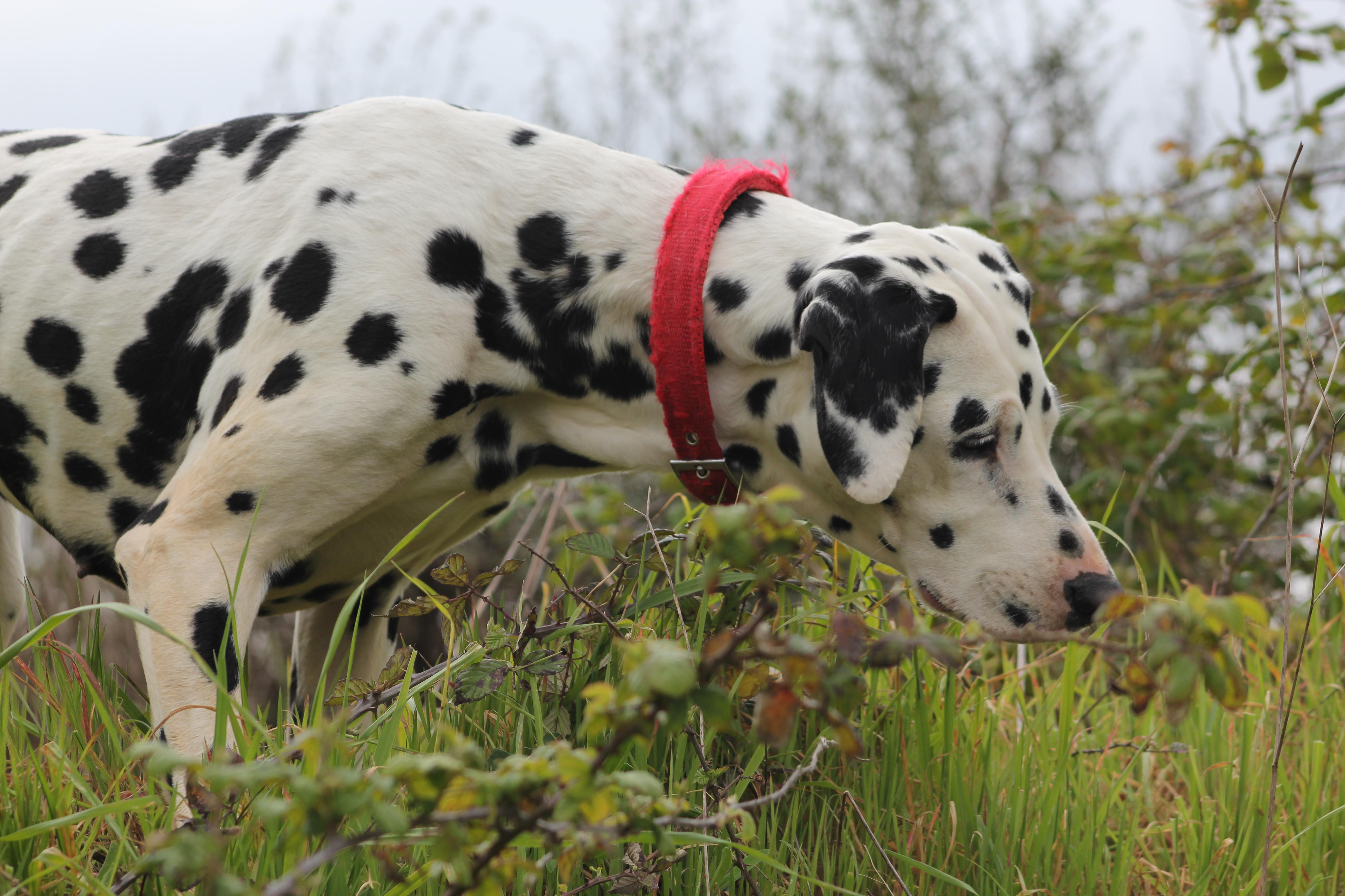 Dalmatian Fire Dog