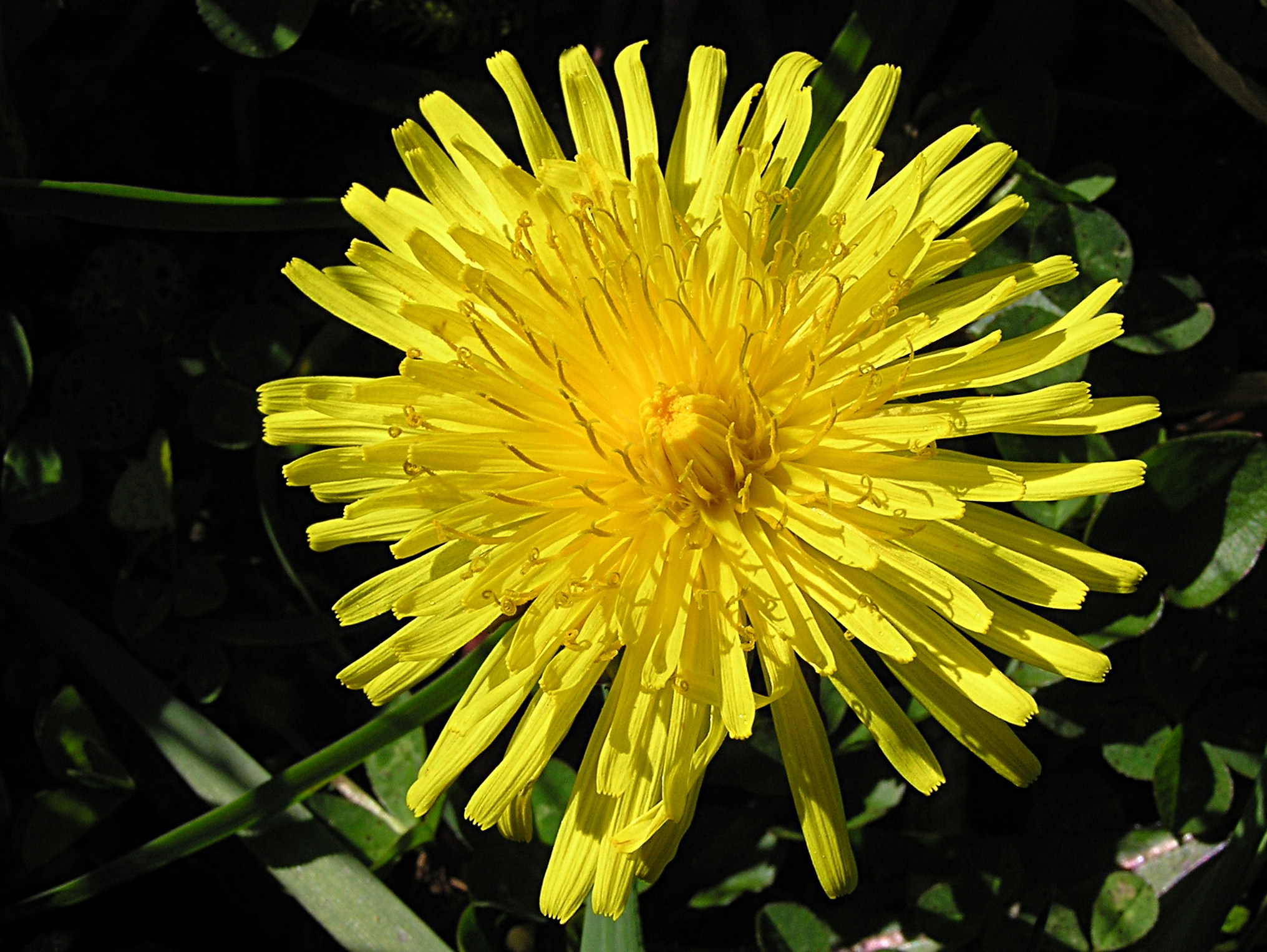 is a dandelion a flower  flower, Natural flower