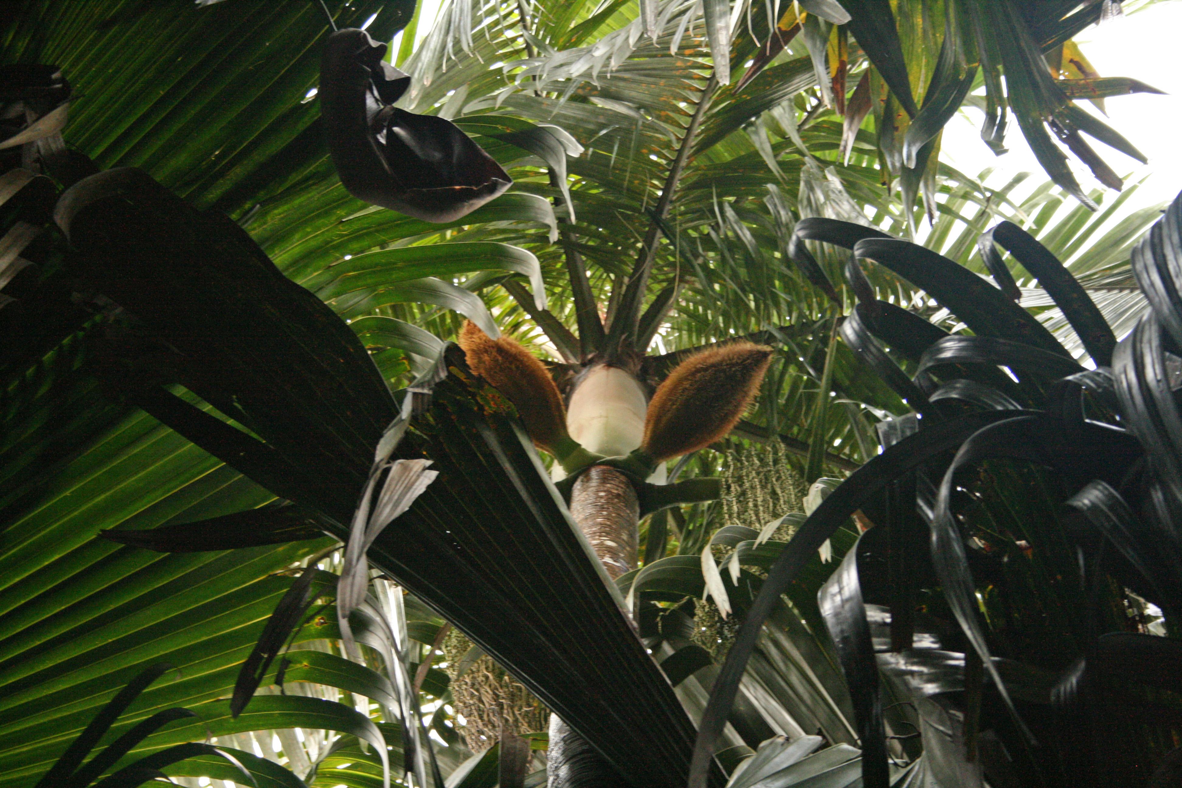 nobilis seychelles
