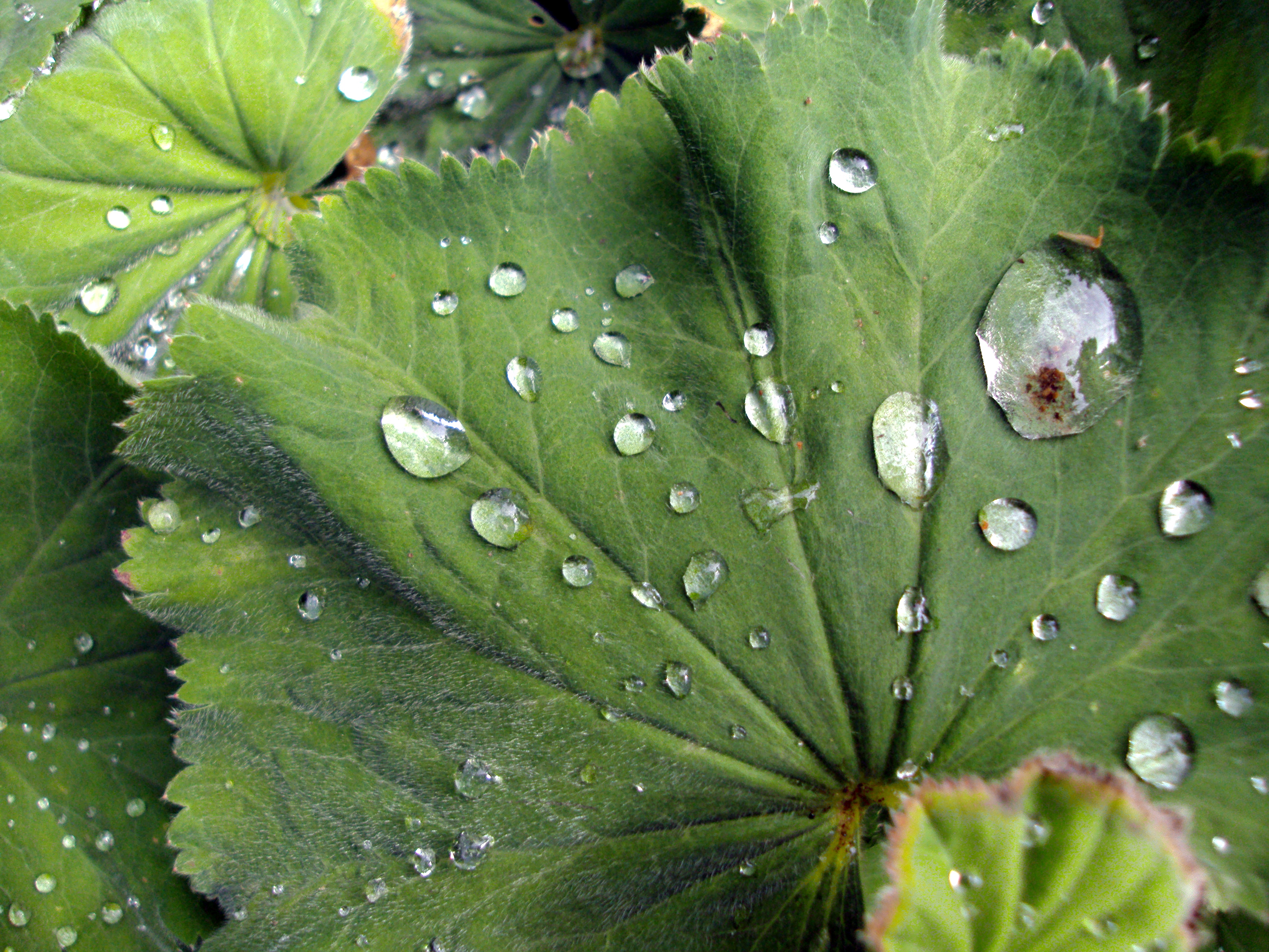 Dew on a leaf rolls off easily - not unlike your physical ability during cancer treatment.
