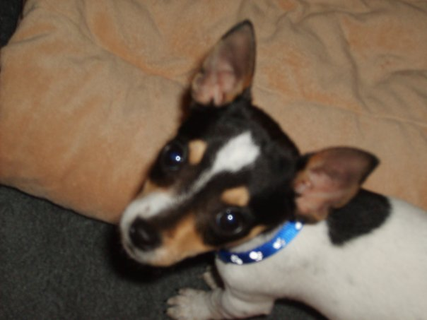 Rat terrier - Dog Scanner