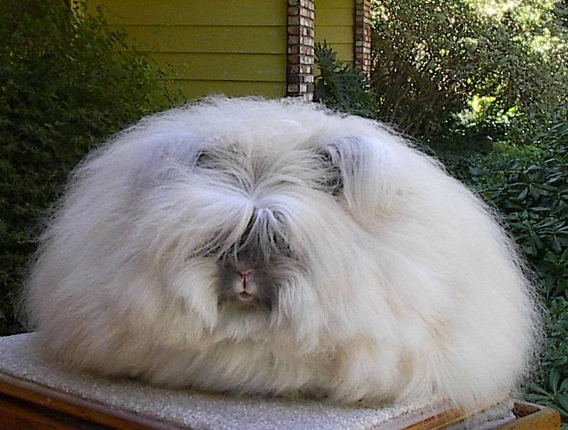 This is the english angora rabbit yesterday was the largest today is
