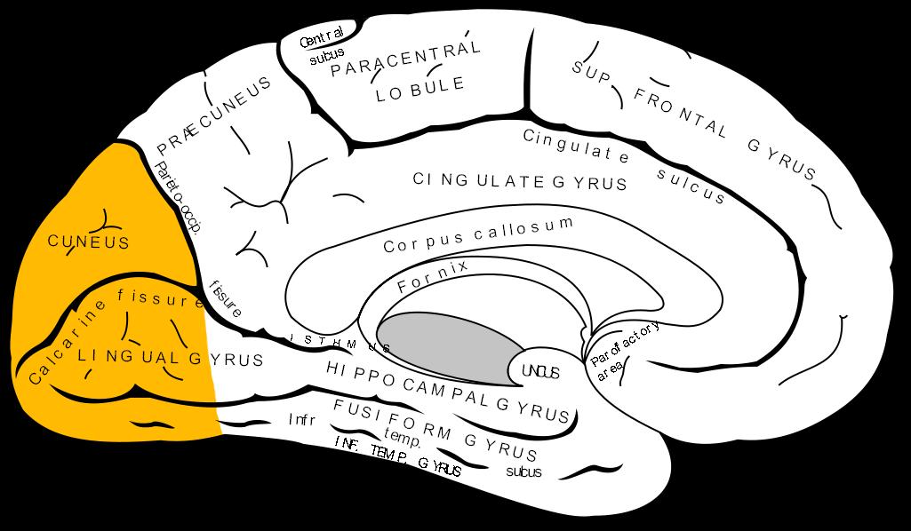 Gray727_occipital_lobe.png
