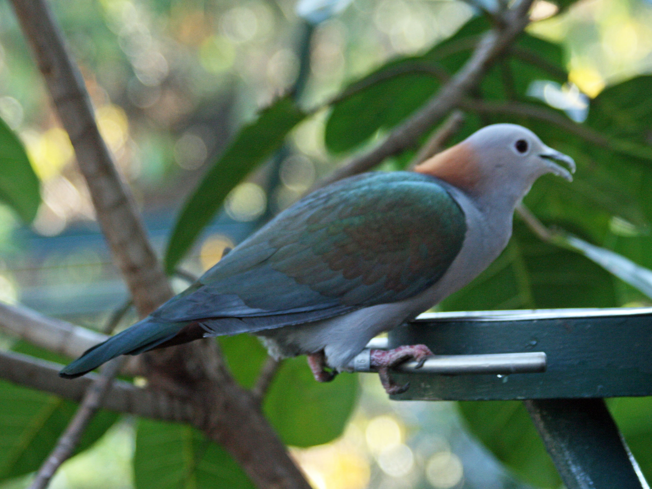 Filegreen imperial pigeon smtcg wikimedia commons filegreen imperial pigeon smtcg biocorpaavc