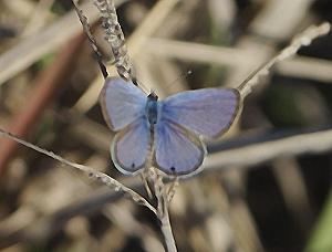 File:Hemiargus ceraunus.jpg