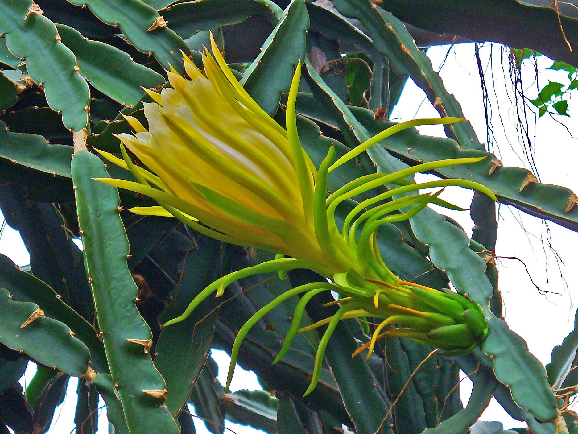 dragon fruit flower
