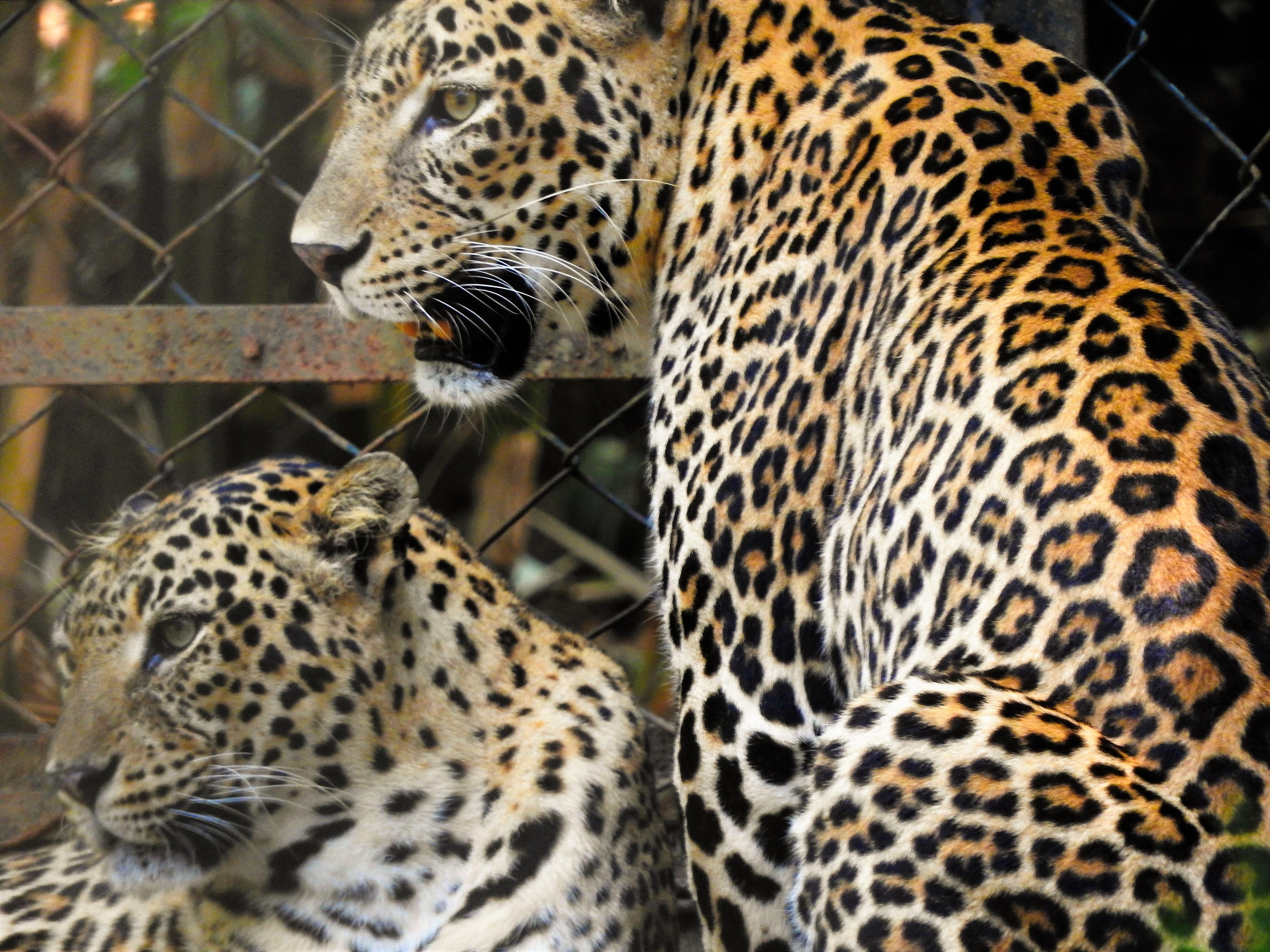 леопард животное фото чем отличается от ягуара парадной