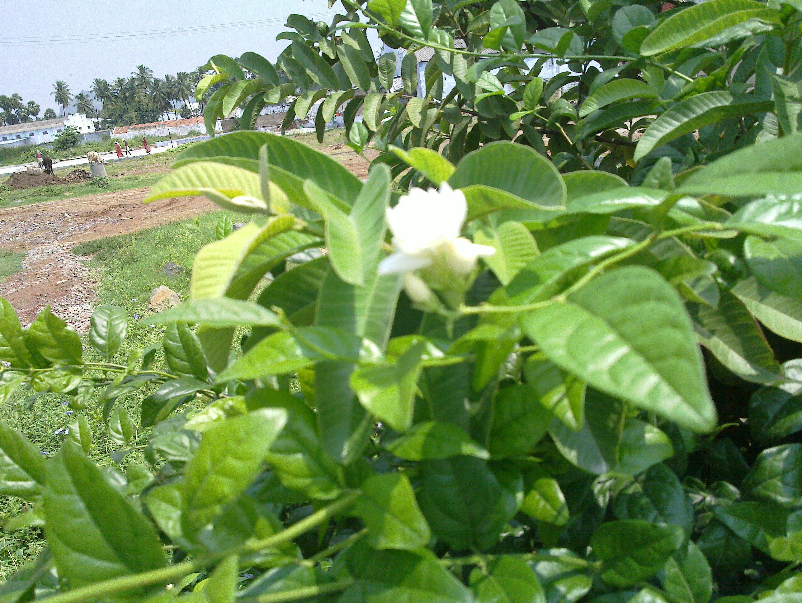 Filejasmine flowerg wikimedia commons filejasmine flowerg izmirmasajfo Gallery