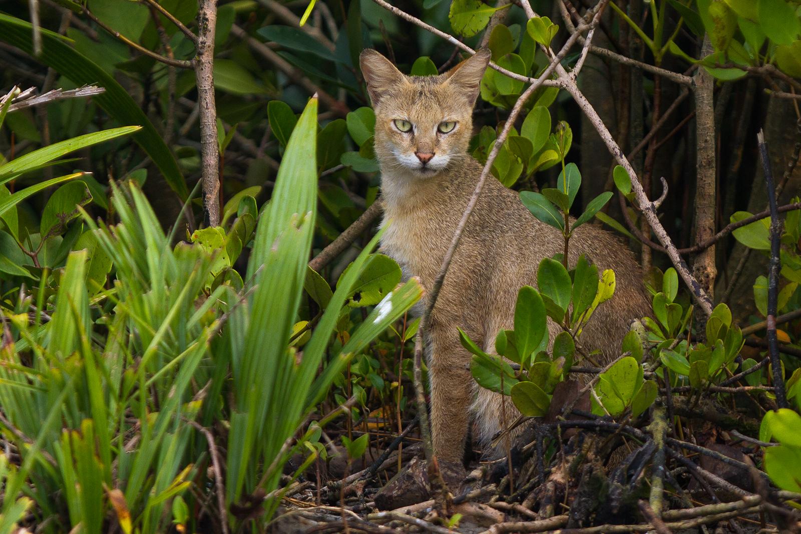Jungle_Cat_in_Sundarban_looking_at_us.jp