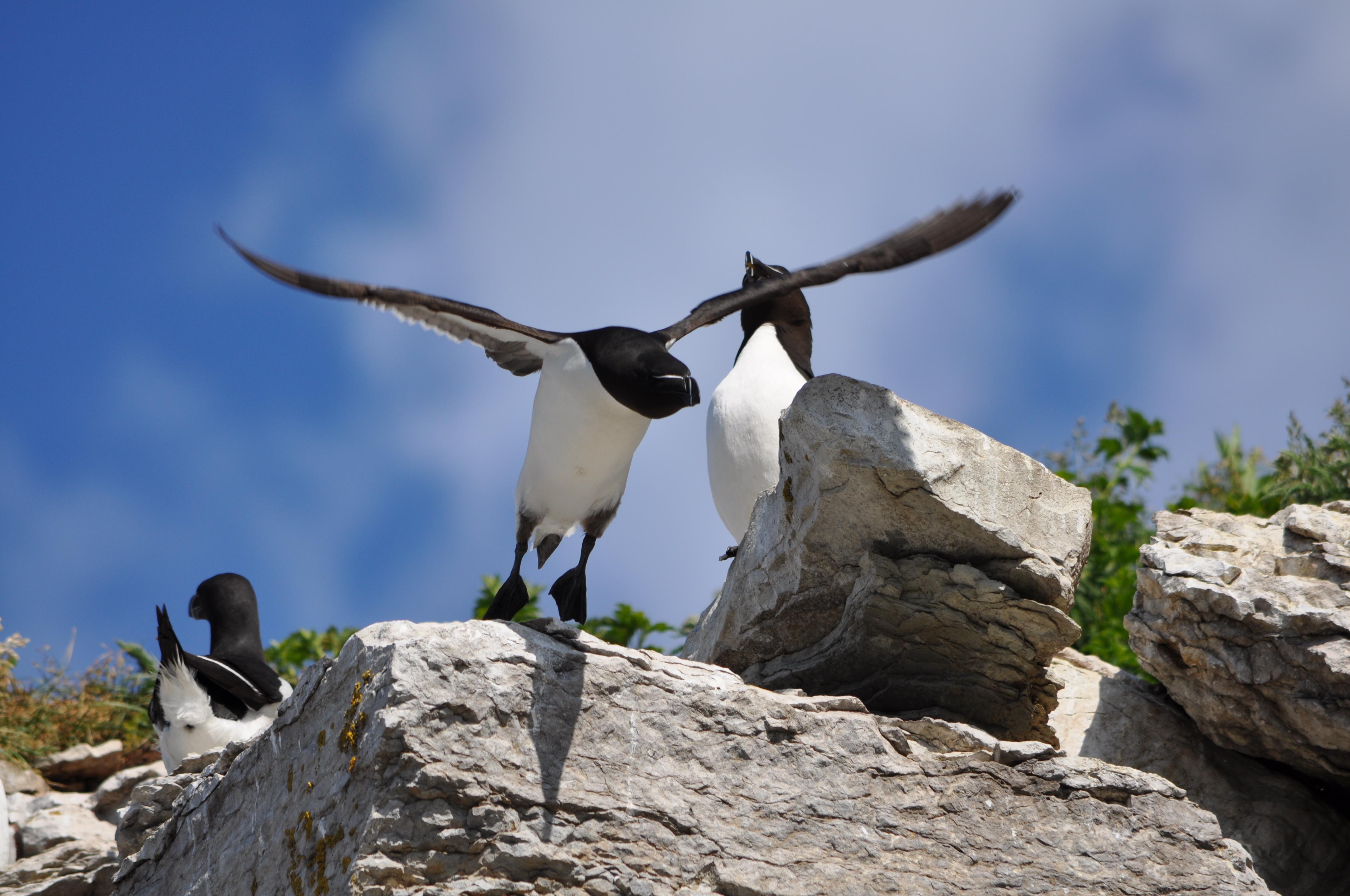Mon pingouin est un manchot pas pas de chat - Pingouin rigolo ...
