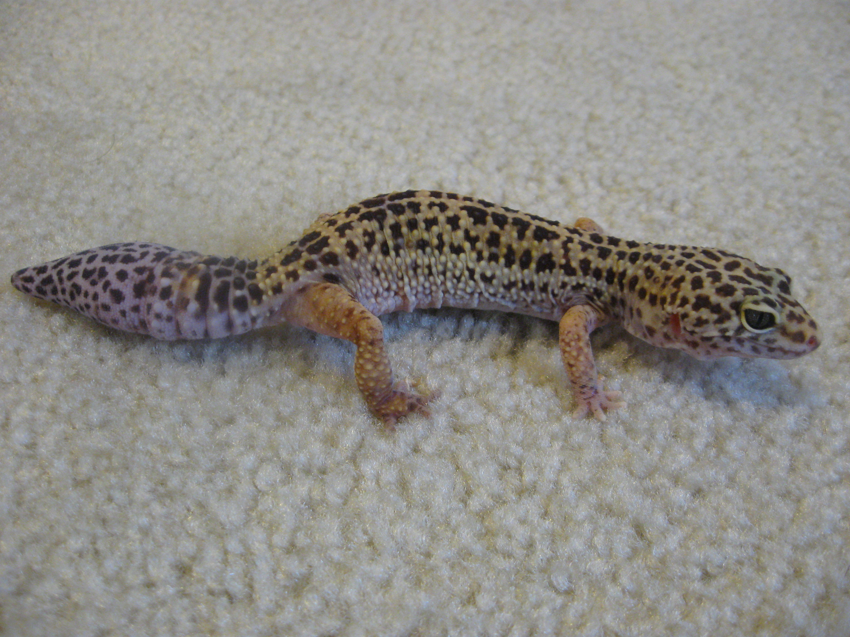 A Real Menagerie Geckos Part One