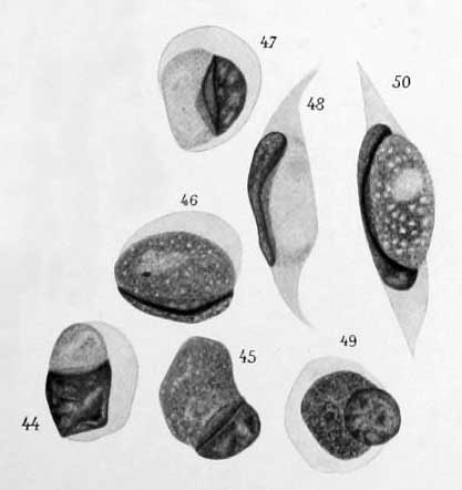 Leucocytozoon caprimulgi 1913