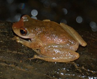 File:Litoria rheocola back.JPG