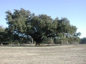 Quercus virginica, Live oak in winter. A pasture in Georgetown County.