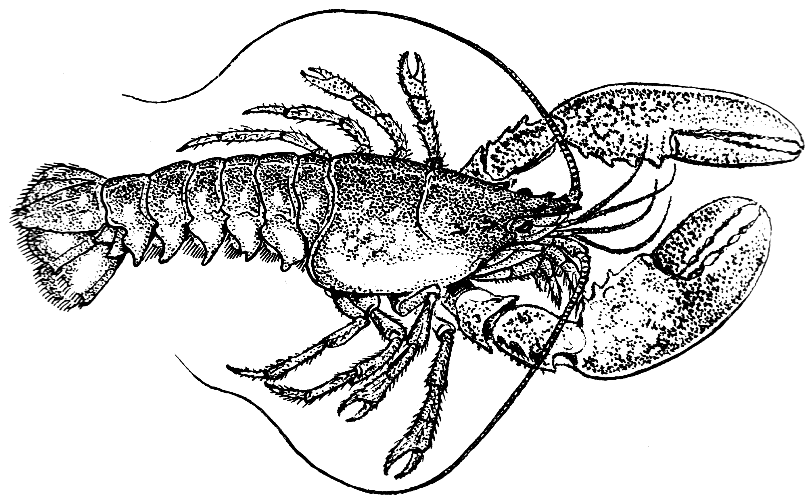 File:Lobster (PSF).png - Wikimedia Commons