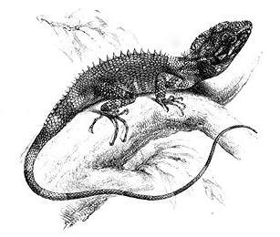 <i>Lophocalotes ludekingi</i>