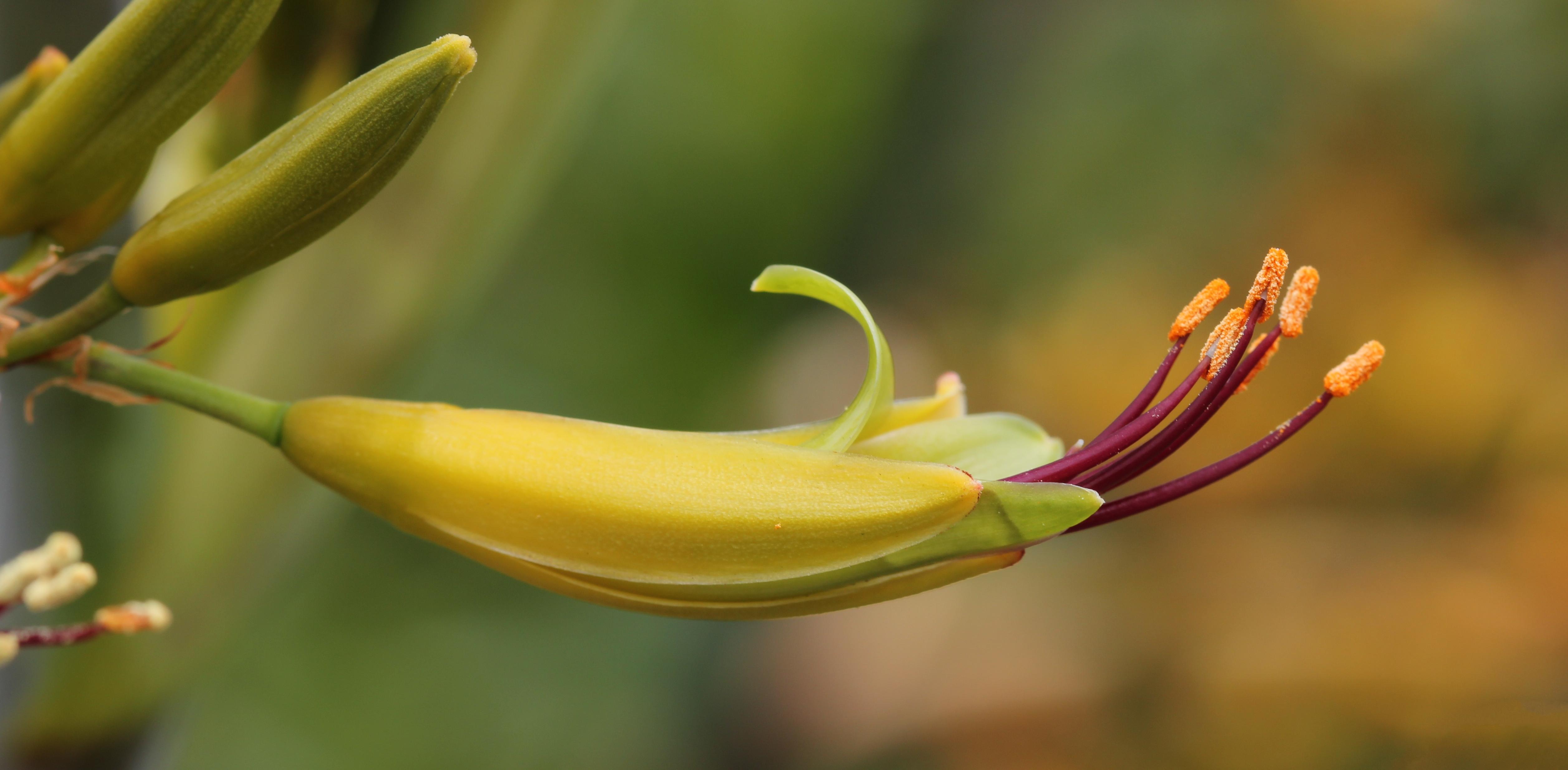 Filemountain flax flower phormium cookianum 2g wikimedia commons filemountain flax flower phormium cookianum 2g mightylinksfo