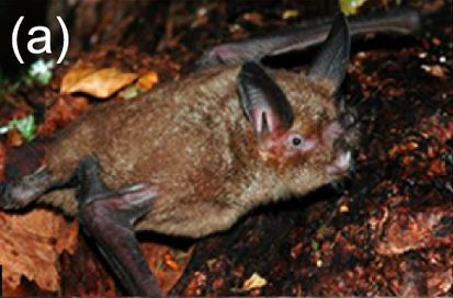 The average litter size of a New Zealand lesser short-tailed bat is 1