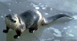 Sliding across ice is an efficient means of travel. Note the long, tapered tail. NRiverOtter23.jpg