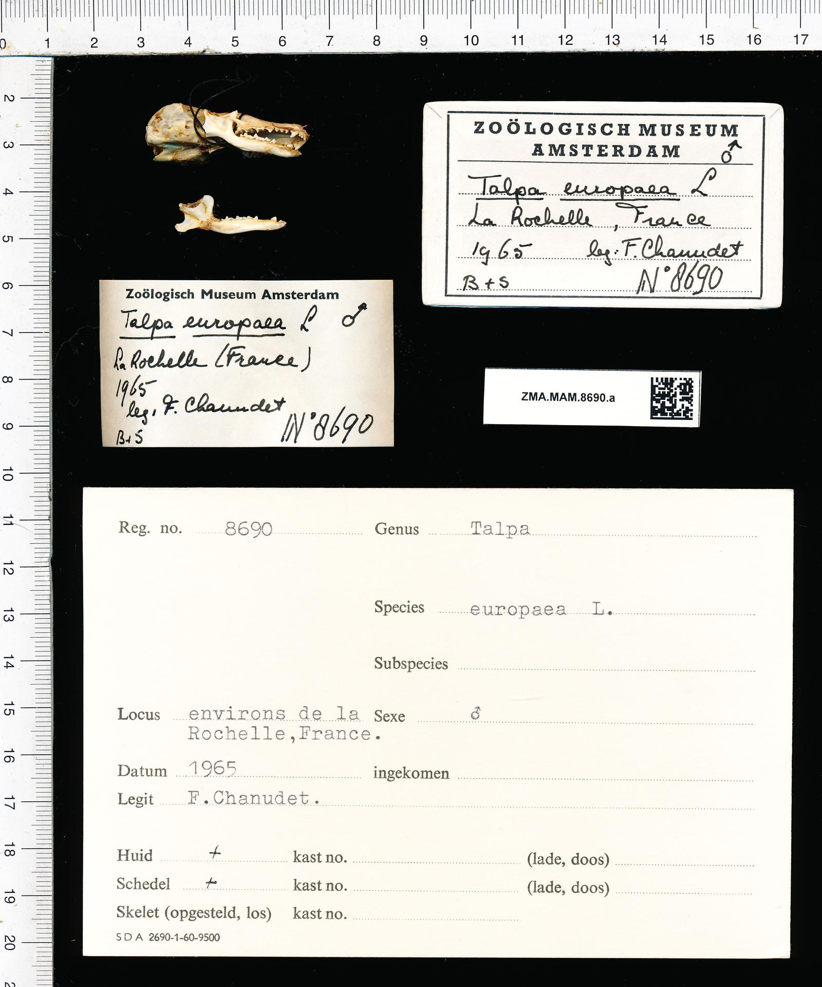 authorship Linnaeus Kind of unit specimen skull Sex male Individual count 1 Country France Locality France, La Rochelle Collection date 01 Jan 1965 through 31