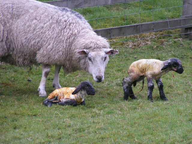 File:Newborn lambs - geograph.org.uk - 161368.jpg