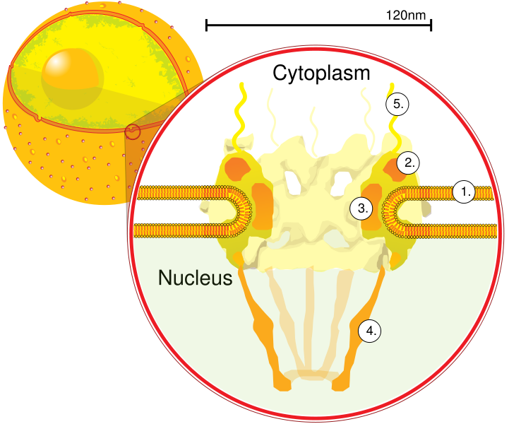 NuclearPore crop.png