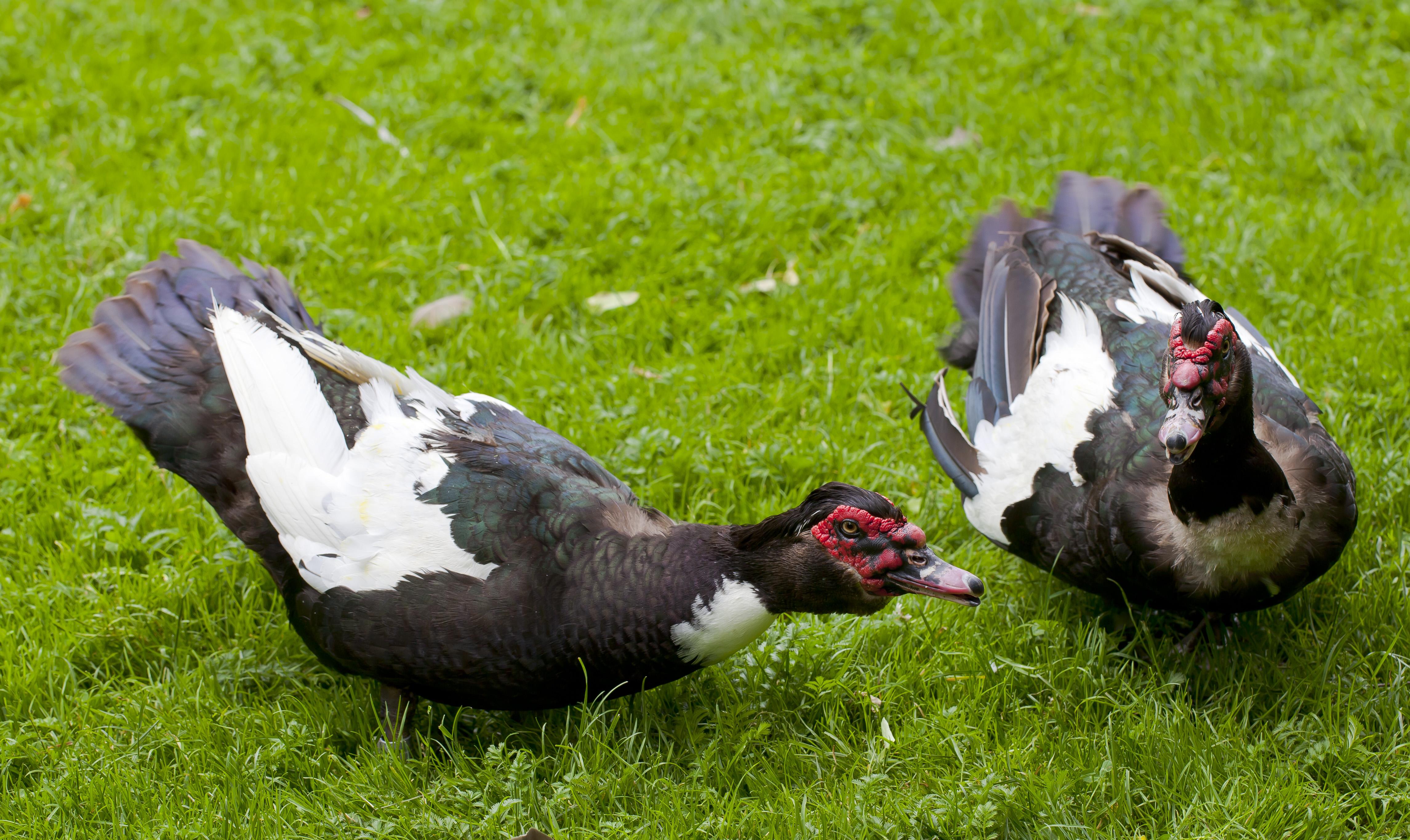 File:Pato criollo (Cairina moschata domestica), Tierpark ...