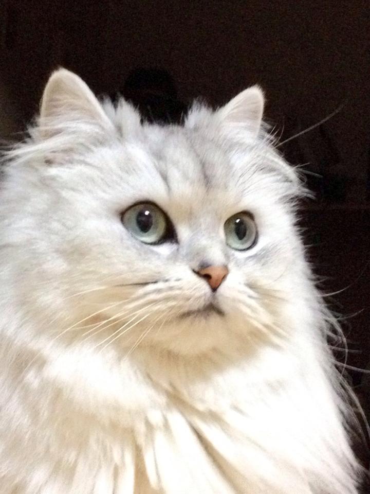 Kucing Persia Wikipedia