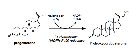 Reaction scheme showing hydroxylation of progesterone