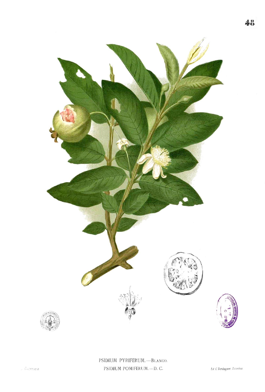 psidium guajava Click on images to enlarge mature fruit (photo: sheldon navie) immature fruit (photo: sheldon navie) close-up of flowers with numerous stamens (photo: sheldon navie.