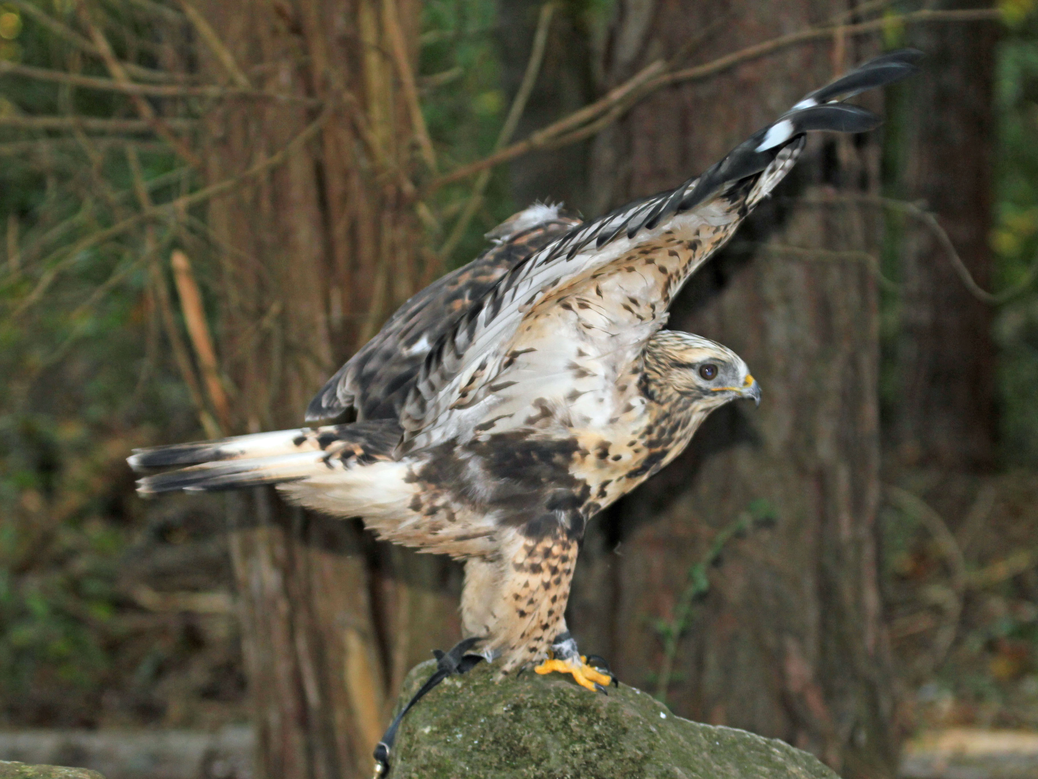 Rough legged buzzard landing on rocks : Taiga Animals
