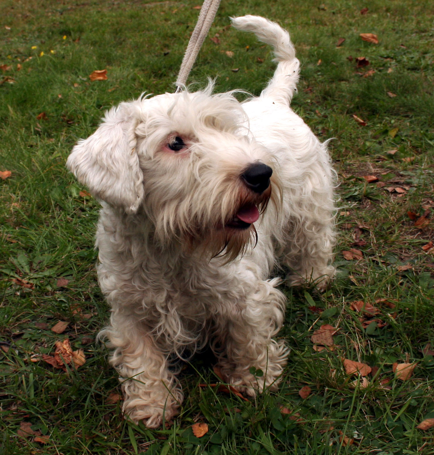 File:Sealyham terrier ...