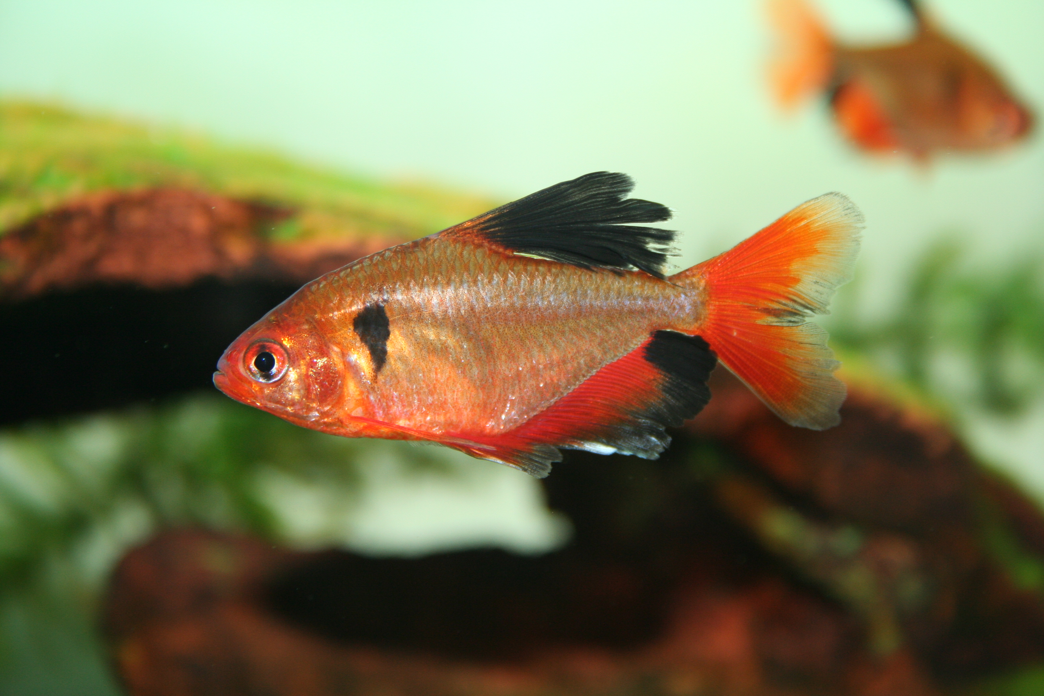 Vintage boots hyphessobrycon serpae for Small tropical fish