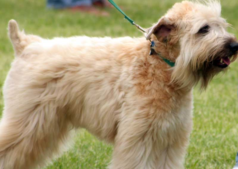 Hypoallergenic Dog Breeds And Mixes