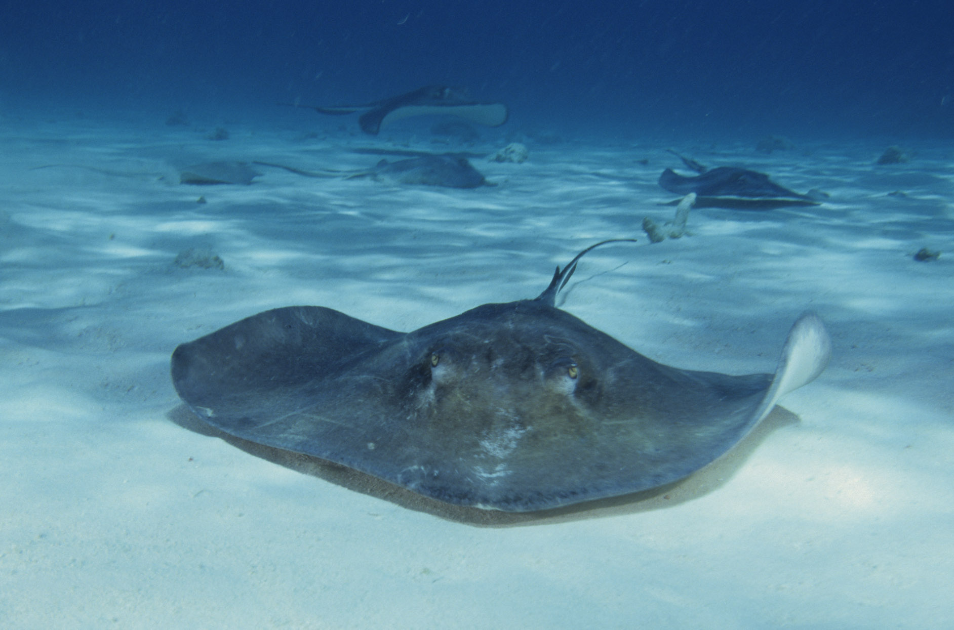 Southern stingray dasyatis americana arkive for Is a stingray a fish