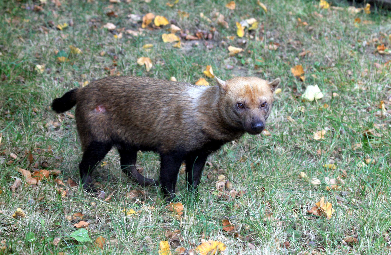 http://upload.wikimedia.org/wikipedia/commons/8/8c/Speothos_venaticus_Zoo_Praha_2011-5.jpg