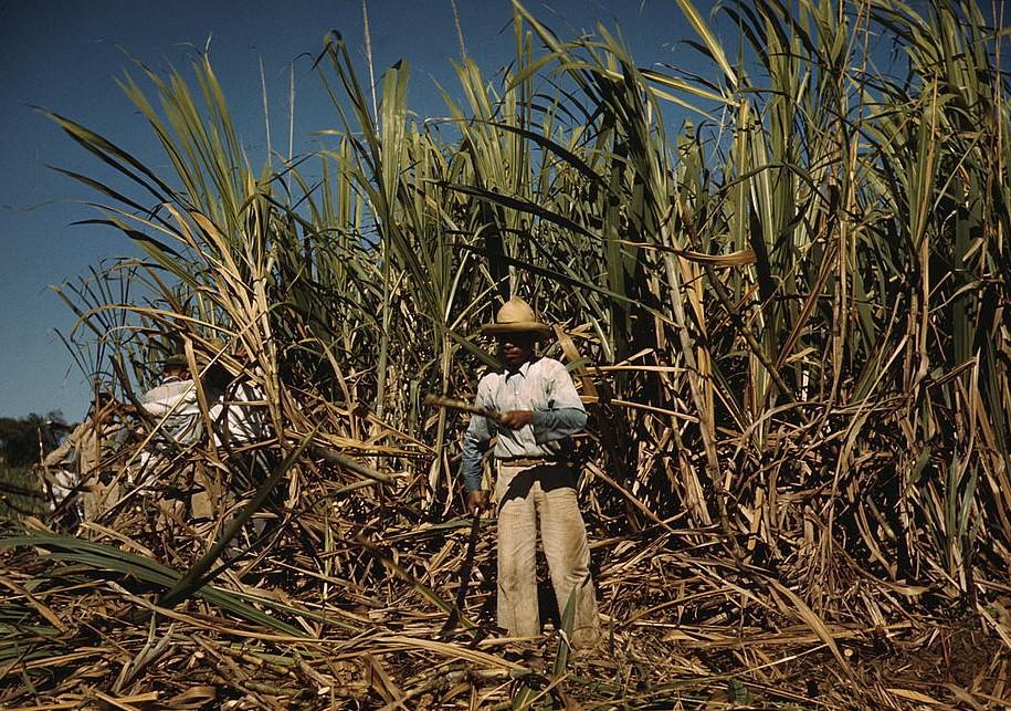 V niektorých krajinách sa cukor vyrába z cukrovej trstiny.
